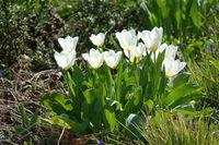 Tulipa White Triumphator, Tulip