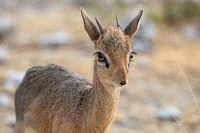 Dik-Dik at Etosha National Park, Namibia