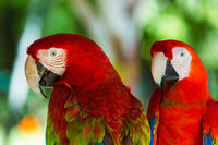 Parrots in Bali Island Indonesia