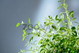 Bunch of freshly natural organic herbal plant against grey background.