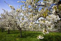 Cherry trees in full bloom in Obereggenen
