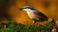 eurasian nuthatch standing on moss in autumn nature.