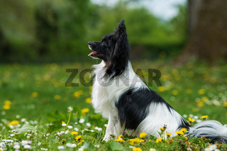 Papillon dog sitting in a spring meadow