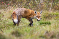 Red fox turning around on a meadow with green grass and holding dead bird
