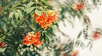 autumn design with rowan berries