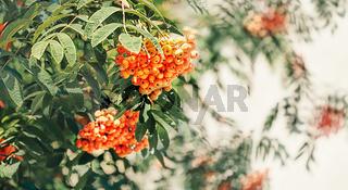 autumn design with rowan berries