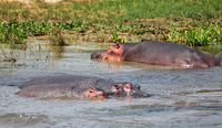 Hippos in the Nile at Murchison Falls National Park Uganda (Hippopotamus amphibius)