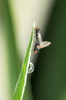 Mating pair of eye gnats, Liohippelates apicatus, Satara, Maharashtra, India