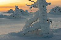 Snow covered trees in polar forest under sunset