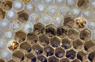 Hatching European Hornet Vespa Crabro