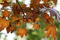 Maple tree with orange leaf in autumn