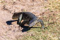Monitor Lizard in Chobe, Botswana Africa wildlife