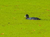 Eurasian coot duck in a pond