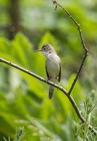 Marsh Warbler, NRW, Germany