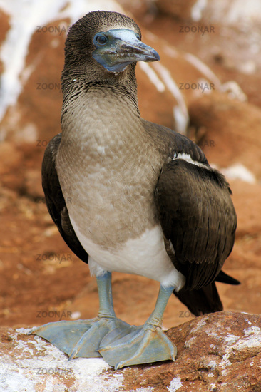 young blue-footed-boobie, Galapagos