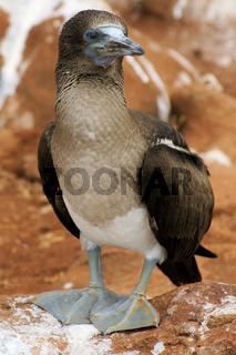 Junger Blaufußtölpel auf den Galapagos-Inseln