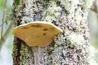 Tree fungus   (Polyporus applanatus)