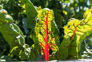 leuchtende Mangold im Gemüsegarten - Biogemüse Krautstiel