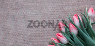 Red Tulips isolated on brown cloth Background.