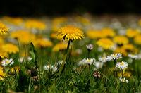dandelion and daisies on a spring meadow seen from ground level