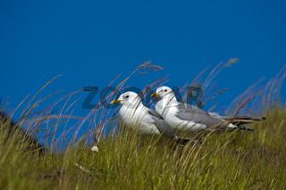 Paar Silbermöwen (Larus argentatus)