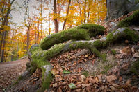 Tree roots on a hiking trail in the autumnal forest near Karlovy Vary