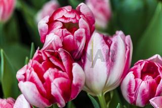 Gefülltblühende frühe Tulpe Peach Blossom