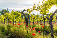 Vineyard With Corn Poppy in the Sunlight, German Wine Route