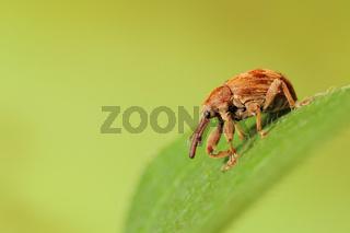 Kirschkernstecher (Anthonomus rectirostris)