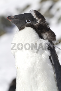 Portrait of Adelie penguins moult adult sunnyday