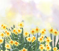 yellow daffodil flowers watercolor