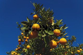 Close up of an orange fruit tree on deep blue sunny sky in Spain