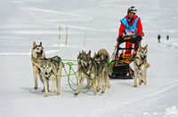sled team of Siberian huskies, dogsledding, Praz de Lys Sommand, Haute-Savoie, France