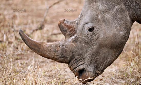 White rhinoceros in Kruger National Park, South Africa, white rhinoceros, South Africa