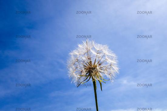Dandelion flower silhouette over a blue sky