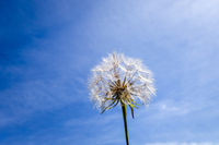 Dandelion flower silhouette over a blue sky