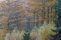 Laerchenwald im Herbst / Larch forest in autumn / Christhinental  -  Schleswig-Holstein