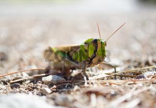 Front view of migratory locust in wilderness