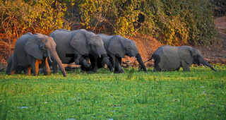 Trinkende Elefanten, South Luangwa Nationalpark, Sambia; Loxodonta africana; drinking Elephants, South Luangwa National Park, Zambia