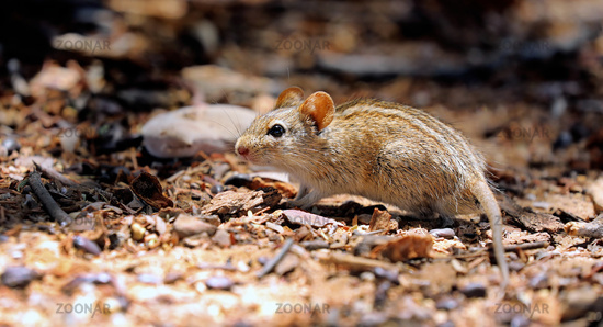 african striped mouse, Kgalagadi Transfrontier National Park, South Africa
