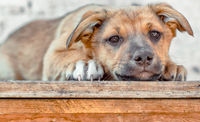 red mongrel puppy lays on wooden table