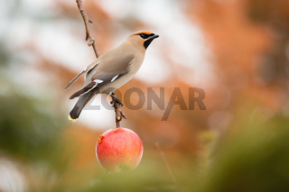 Bohemian waxwing sitting on apple tree from soffit