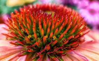 Echinacea purpurea magnus or cone flower