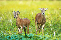 Wild mouflon ewe and young ram with little horn growing on green field