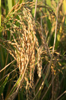 rice seeds in ear of paddy close up
