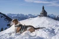 Beagle on the Wallberg