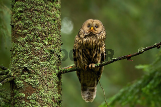 Wise tawny owl looking up in summer forest and sitting on bough.