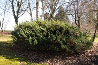 Juniperus chinensis Globosa Cinerea, Wacholder