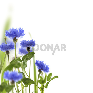 Blue cornflowers and green meadow grass.