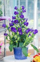 Purple Campanula flowers. Campanula Portenschlagiana